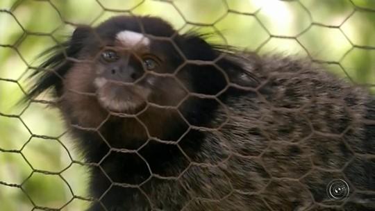 Como prevenção à febre amarela, associação deixa de receber macacos