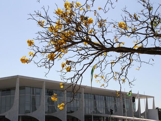 Flores de Ipês com o prédio do STF ao fundo (Foto: Vianey Bentes/TV Globo)
