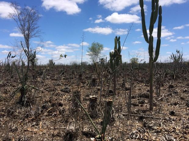 Plantação de sisal é quase dizimada com severa seca no semiárido baiano (Foto: Henrique Mendes / G1)