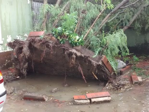 Árvore tombou e atingiu casas em Guarujá (Foto: Cleber Macedo/VC no G1)