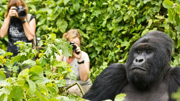 gorila (Foto: Virunga National Park/BBC)