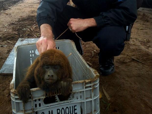 Animal foi localizado em uma propriedade de eucalipto (Foto: GCM de Botucatu/Divulgação)