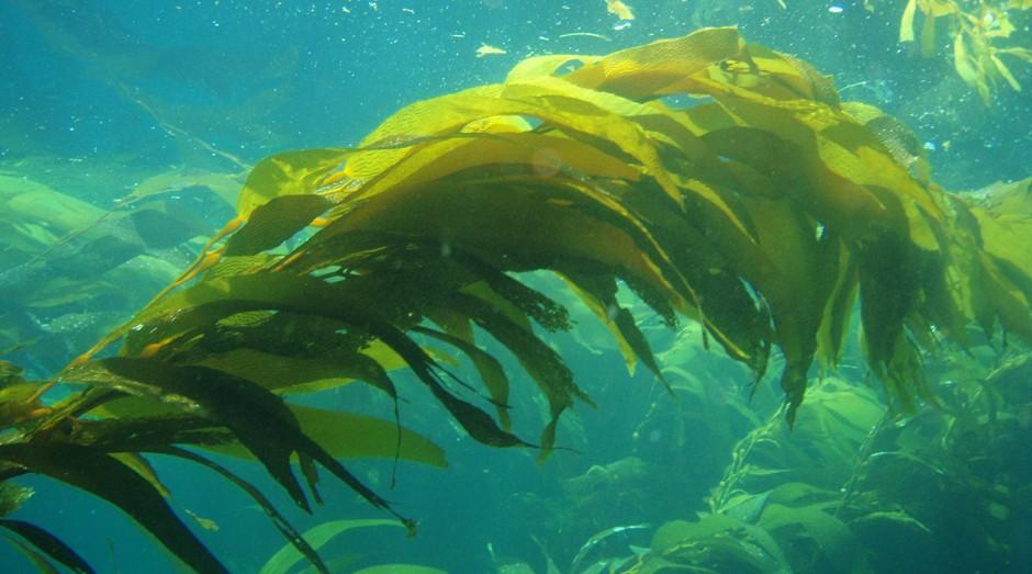 Alga (Foto: NOAA)