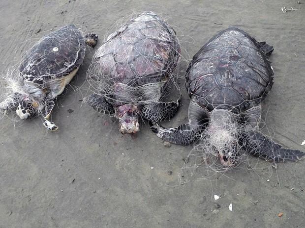 G1 tartarugas morrem enroladas em redes de pesca no - Redes de pesca decorativas ...