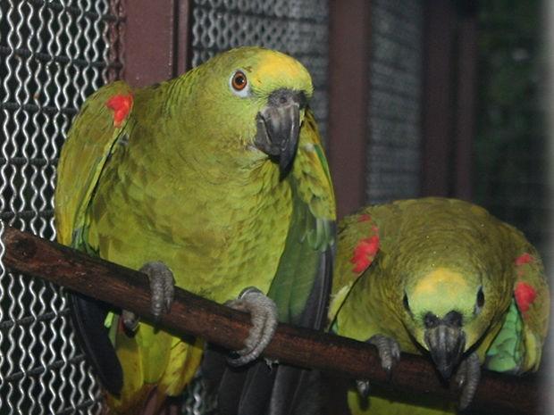 Resultado de imagem para papagaios apreendidos