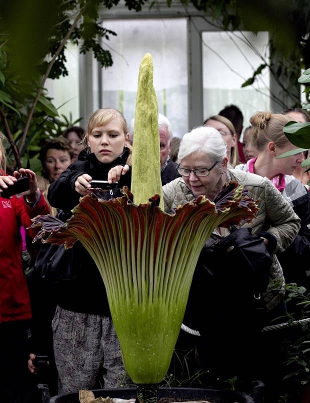 casar no jardim botanico : casar no jardim botanico:G1 – Flor-cadáver floresce e atrai dezenas de visitantes na Dinamarca