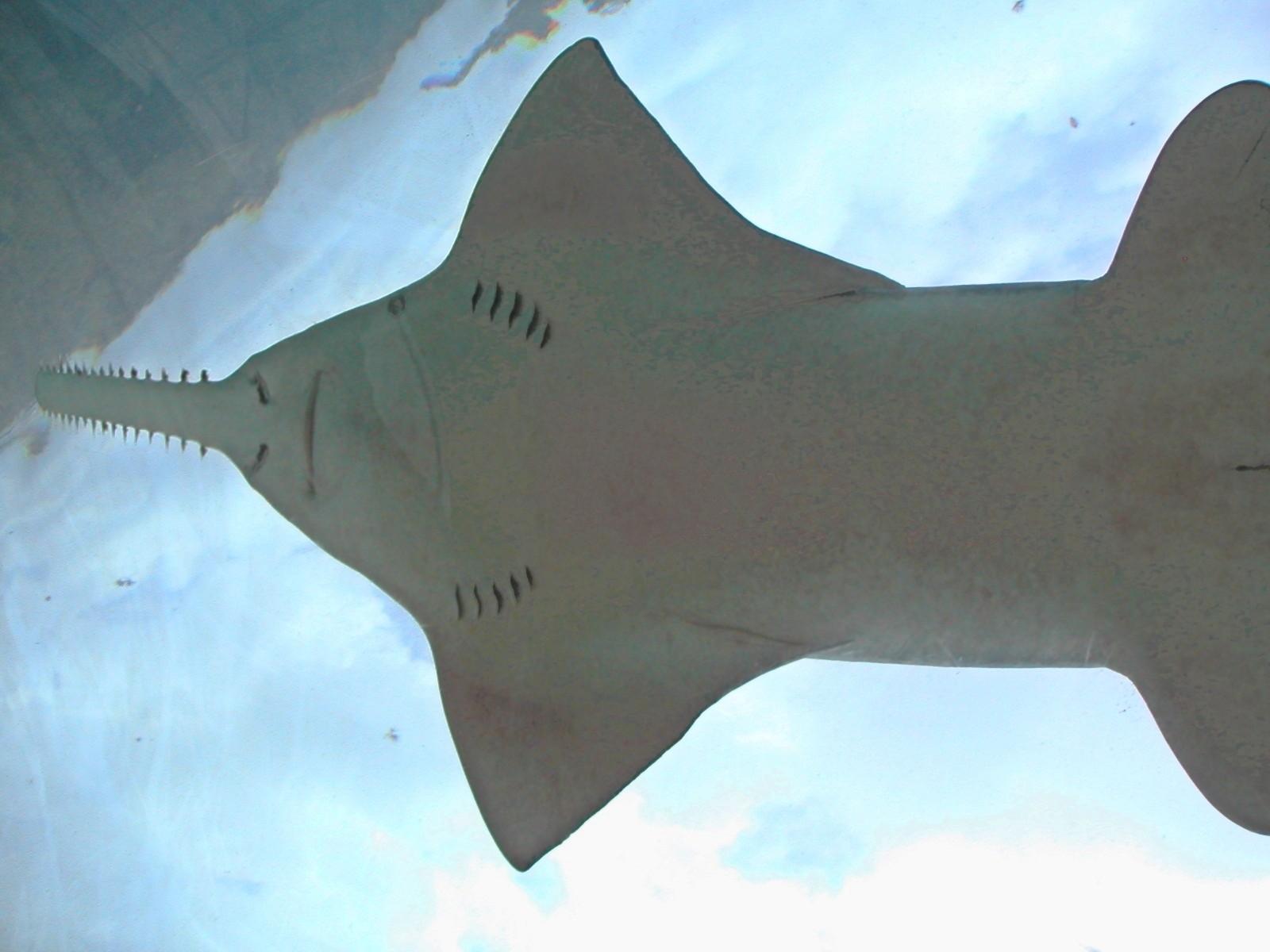 Pristis pectinata (Foto: wikimedia commons)
