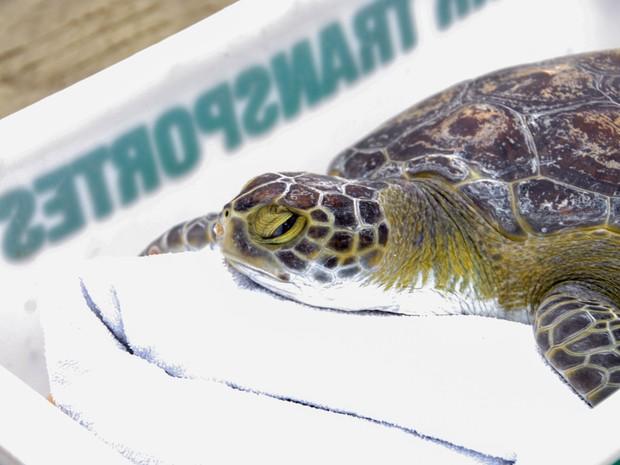 Tartaruga foi devolvida ao mar após 35 dias após ser encontrada (Foto: Danilo Almeida / Prefeitura de Praia Grande)