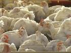 Com 4,3 milhões de t, exportação de frango é recorde em 2015, diz ABPA