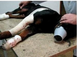 Rottweiler Lobo, que morreu após ser arrastado pelo dono, em Piracicaba (Foto: Edijan Del Santo / EPTV)