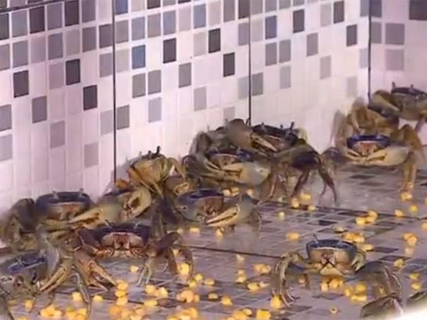 Captura de fêmeas e guaiamum pequeno já é proibidade desde 2008 (Foto: Reprodução / Tv Sergipe)
