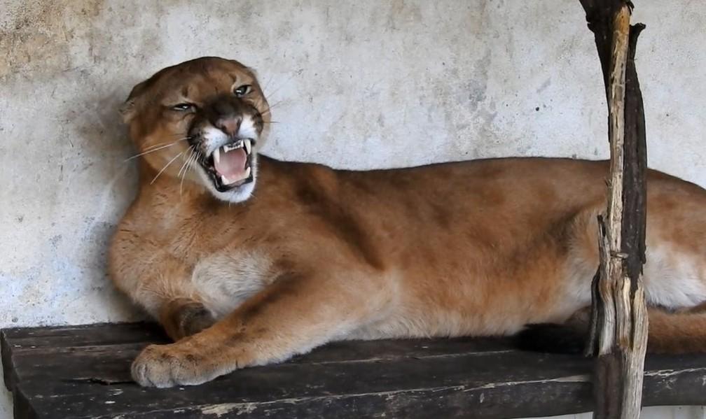 Onça ficou por 12 dias em tratamento no Zoológico de Bauru  (Foto: Zoológico de Bauru / Divulgação )
