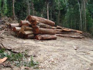Cerca de 300 árvores de 10 espécies foram extraídas (Foto: Divulgação / Incra)