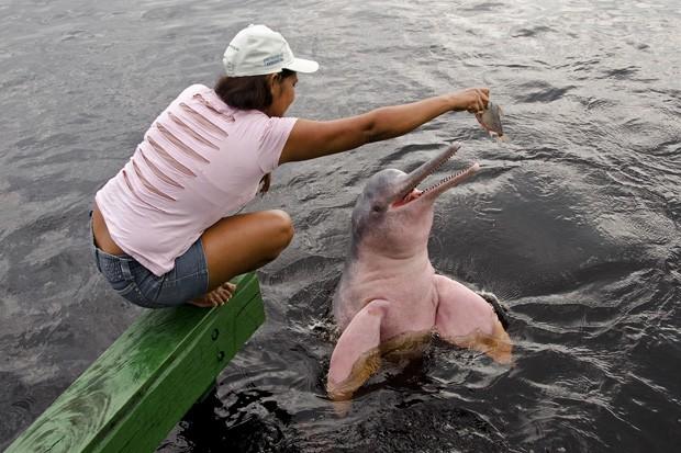Márcia Ferreira Mesquita, a cuidadora dos botos da Praia Amigo do Boto, em São Thomé, oferece um jaraqui a um dos animais (Foto: Haroldo Castro/ Época)