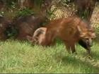 Projeto desenvolvido por empresa em Araxá preserva a espécie lobo-guará