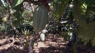 Início da primavera beneficia cultivo de cacau no sul da Bahia