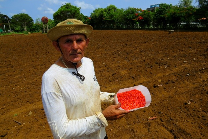 Plantio do milho Ambrósio 2
