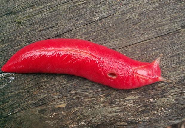 Espécie é carnívora e se alimenta de outros caracóis vegetarianos (Foto: AFP)
