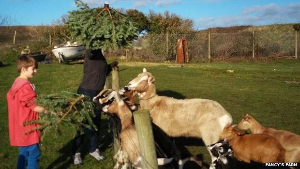 """""""As cabras amam comê-las – as folhas espinhosas fazem muito bem a elas"""", afirmou a responsável pela fazenda, Sue Illsley  (Foto: Fancys Farm)"""