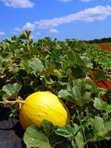 Produção de melão do RN é líder no Brasil (Foto: Reprodução)