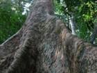 1% das árvores da Amazônia 'captura metade do carbono da região'