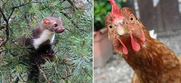 Uma marta e uma galinha, mas não as envolvidas no caso em pauta