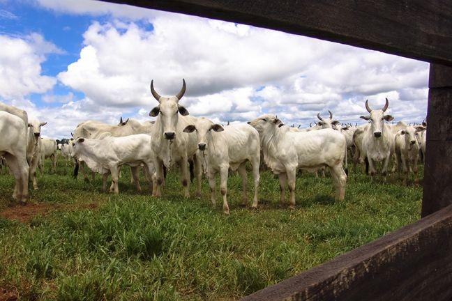 Gado (Foto: Arquivo Google)