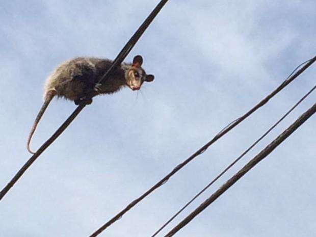 Saruê é flagrado em rede elétrica  (Foto: Jéssica Cristina Gonçalves/Arquivo Pessoal)
