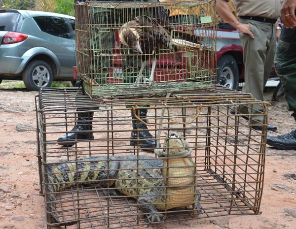 Gavião e Jacaré apreendidos pela Polícia Ambiental serão levados para o Centro de Triagem de Animais Silvestres (Cetas) (Foto: Walter Paparazzo/G1)