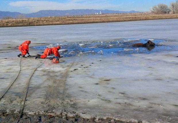 Vacas ficaram presas em lago congelado em Fountain (Foto: Darin Anstine/Fountain Fire Department/AP)