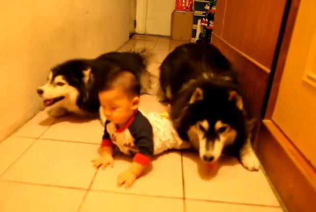 Cachorros se arrastaram no chão para 'imitar' bebê que estava engatinhando (Foto: Reprodução/YouTube/Kenji Chen)