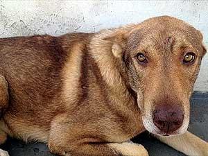 O cão BOB, que foi atropelado em Campinas e perdeu uma pata (Foto: Divulgação)