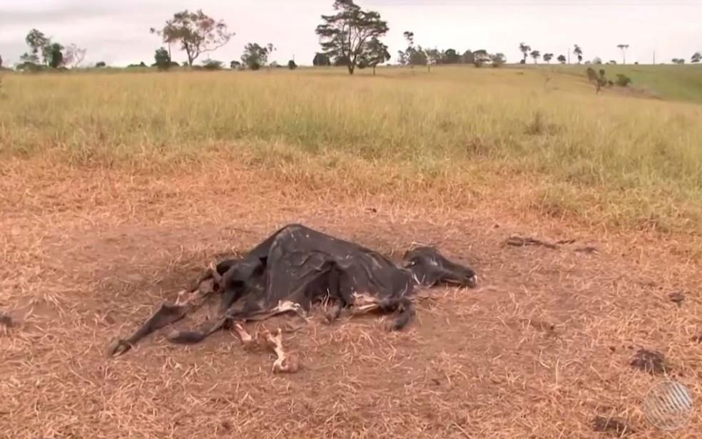 Morte de gado por suspeita de raiva bovina preocupa criadores na Bahia (Foto: Reprodução/TV Santa Cruz)