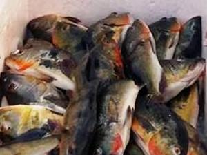 Tucunaré é um dos peixes mais apreciados na Amazônia (Foto: Divulgação/Preeitura de Óbidos)