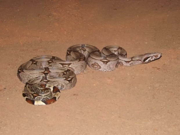 Cobra foi vista na região de Taquaralto (Foto: Daniel Freira/Divulgação)