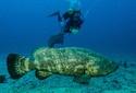 Projeto trabalha para a preservação de meros no litoral de Santa Catarina