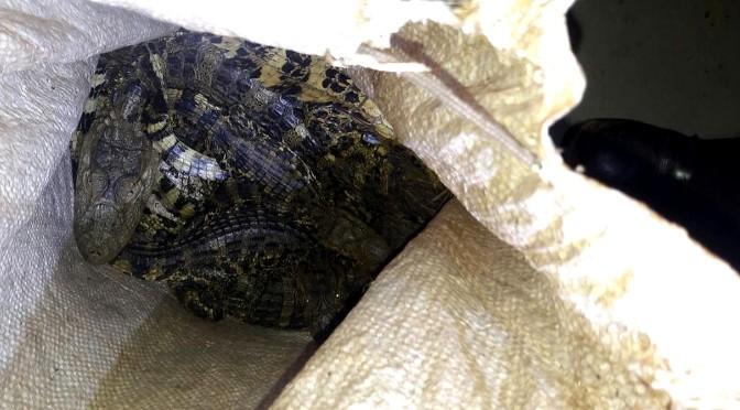 Jacarés eram transportados vivos em carro, em Eldorado, MS (Foto: PMA/ Divulgação)