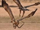 Lista reúne águias disputando cobra e mais combates em pleno ar