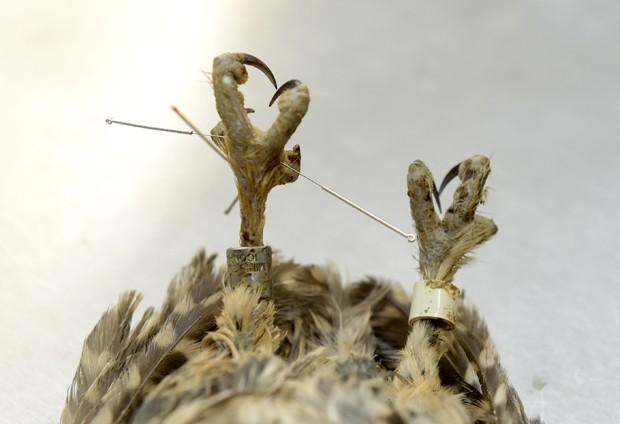 Coruja é tratada com acupuntura para problema nas costas (Foto: Gerard Julien/AFP)