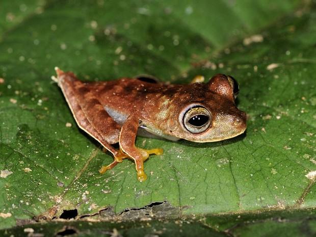 O sapo-cowboy (Hypsiboas sp.) pode ser uma espécie nova para a ciência. Ele foi encontrado durante expedição do Programa de Avaliação Rápida da Conversation International, no Suriname, entre agosto e setembro de 2010. (Foto: Paul Ouboter)