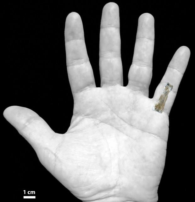 Ilustração de mão mostra onde fóssil se 'encaixa' na mão moderna  (Foto: Jason Heaton)