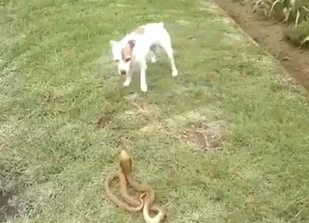 Receoso no início, cachorro apenas circulou em torno do réptil (Foto: Reprodução/LiveLeak/Stone88)