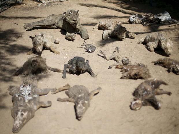 Dono do zoológico na Faixa de Gaza empalhou alguns dos animais que morreram de fome e os deixou disponíveis para os visitantes (Foto: Ibraheem Abu Mustafa/Reuters)