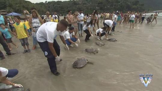 Tartarugas-verde são soltas em praia de Guarujá, SP, após reabilitação