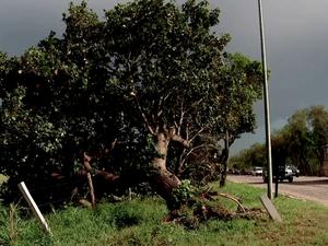 Árvore foi arrancada à margem da BR-101 (Foto: Inter TV/Reprodução)
