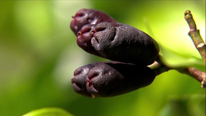 cravo-da-india (Foto: Reprodução/TV Globo)