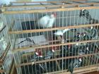 Avô e neto são presos suspeitos de traficar 90 pássaros em PE, diz polícia