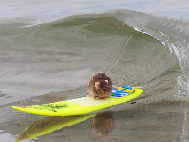 Camundongo surfa na praia da Costa Dourada, em Queensland  (Foto: Barcroft/Getty Images)