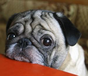 Os cães de raças de focinho curto, como por exemplo Pug, são os mais acometidos pela doença (Foto: Thinkstock)