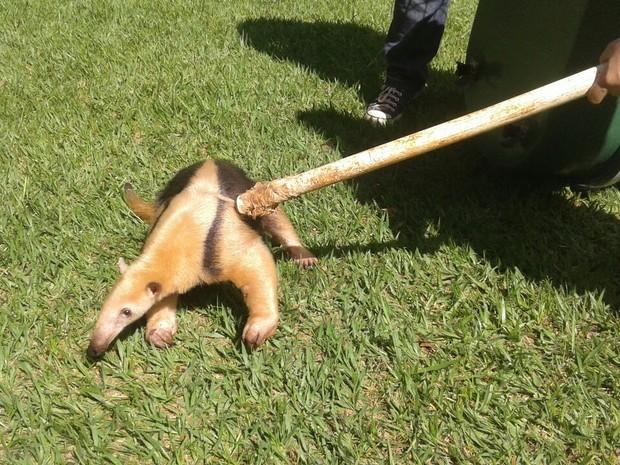 Tamanduá-mirim é capturado no pátio da TV Integração em Uberlândia (Foto: Vanessa Pires/G1)